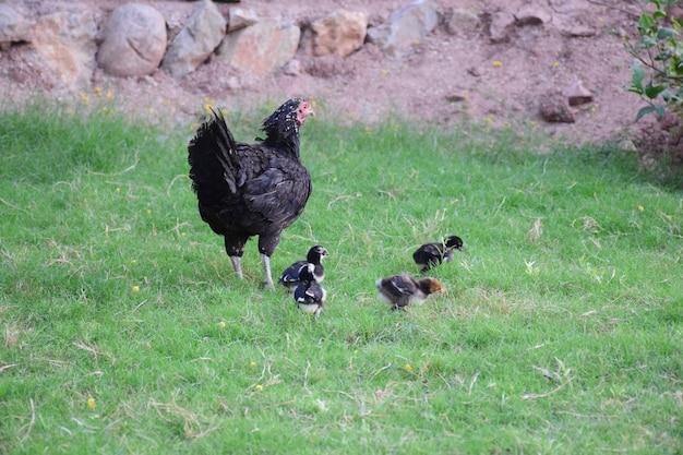Наседка с цыплятами в сельском дворе