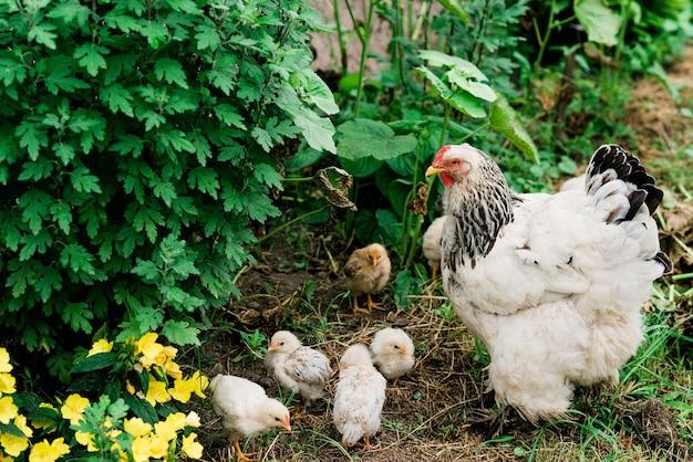 Наседка с птенцами гуляет по зеленому двору в деревне. мягкий выборочный фокус.