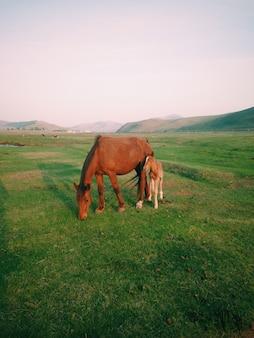 昼間に牧草地で放牧している赤ちゃん馬と母馬