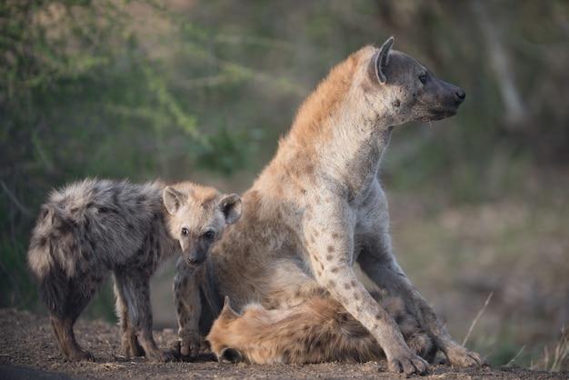 Мать гиена сидит на земле со своими младенцами