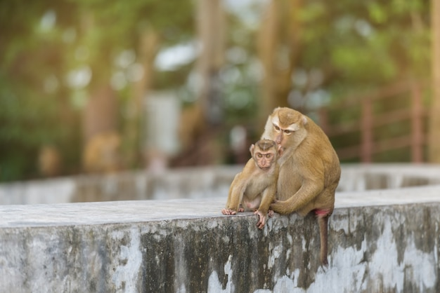 Mother monkey and baby monkey are playing in park of thailand
