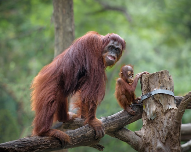 Mother orangutang on a walk with its little baby