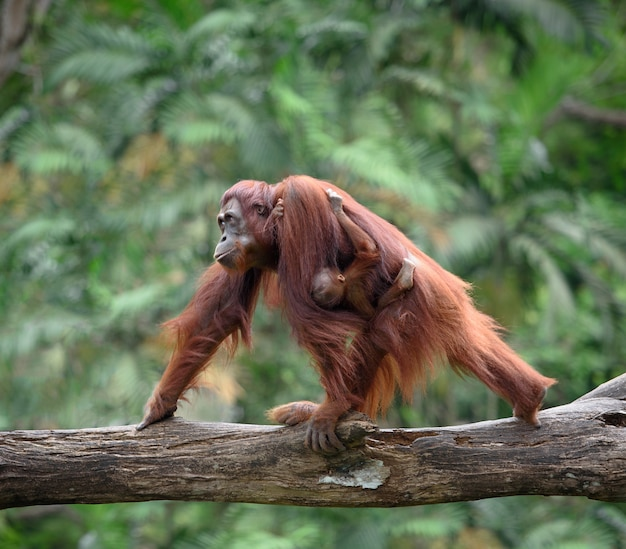 Mother orangutang walking with its baby