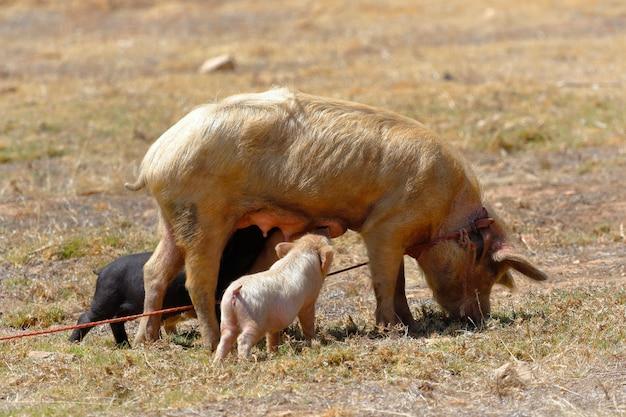 母豚の放牧と彼女の若い母乳で育てる
