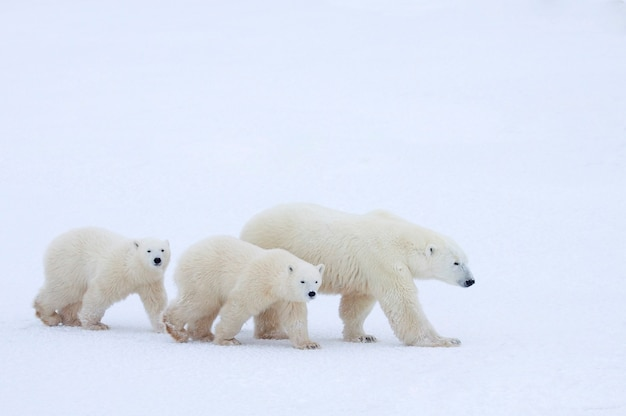 Mother polar bear and cubs walking in snow-covered field