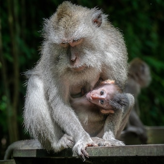 母アカゲザルと彼女の子供
