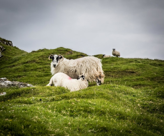 Мать-овца кормит ягненка на зеленых полях в пасмурный день