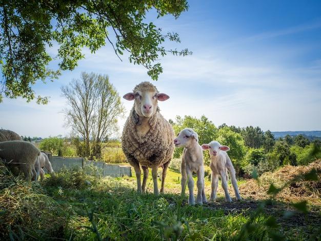 昼間の芝生のフィールドで2頭の赤ちゃん羊と母羊