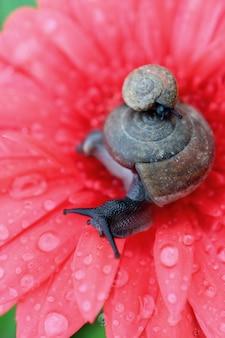 Мать-улитка, несущая маленькую улитку на своей раковине, расслабляется на кораллово-розовом цветке герберы с множеством капель воды