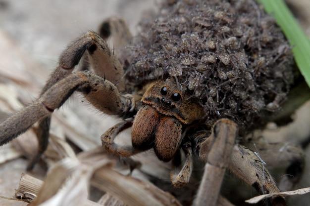 Мать паук, который несет детей пауков в ее теле