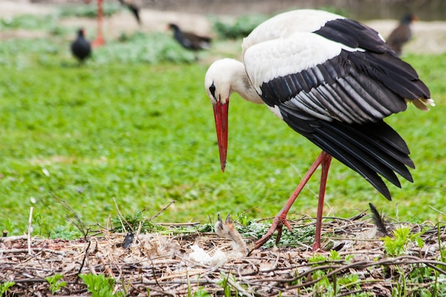 A mother stork feeding its young saplings, the mother gives the food that she has herself digested beforehand