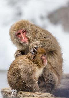 石の上に座っている赤ちゃんニホンザルを持つ母