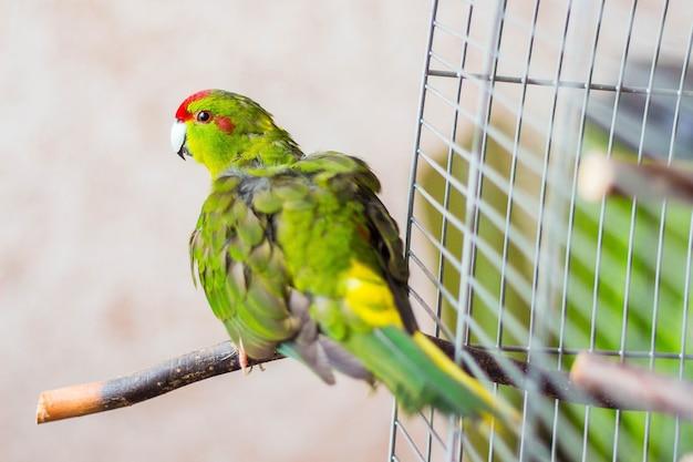 Пестрый попугай вылетел из клетки и наслаждается свободой