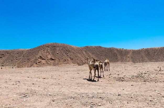 オートバイサファリエジプトの人々は美しい休日を旅行します