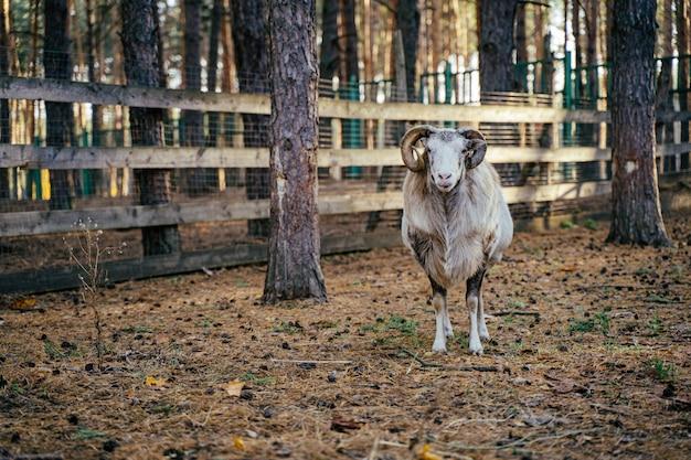 Mouflons、ovis gmeliniまたはovis orientalisのグループが山を歩く