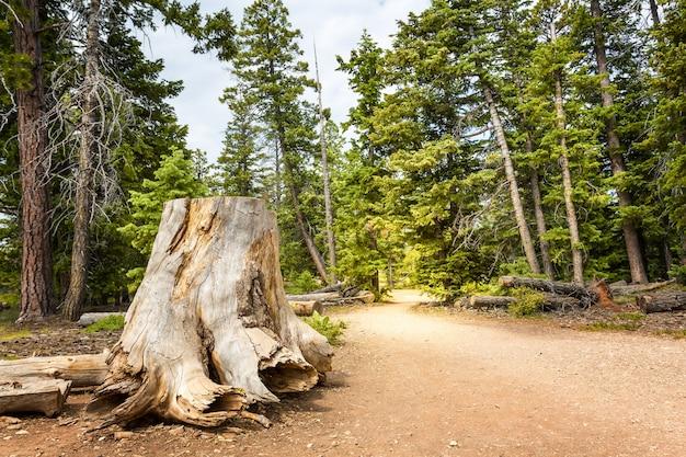 Тухлый пень в сосновом лесу