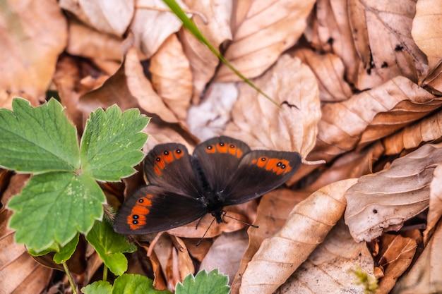 Гора айзкорри, гипускоа. черная бабочка в лесу на склонах горы айзкорри