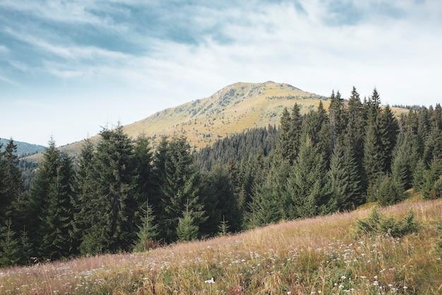 아침에 키브친 산과 소나무 녹색 숲, 카르파티아 산맥