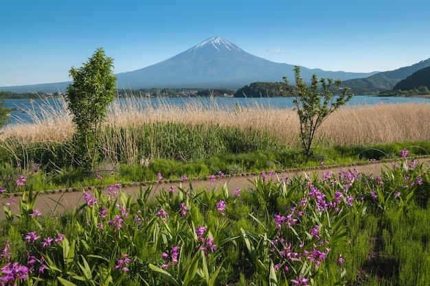 Mount fuji with flower field in summer blue sky at oishi park, kawaguchiko lake, japan