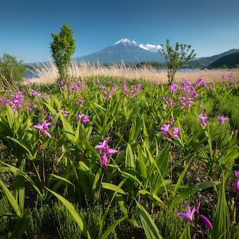 Mount fuji with flower field in summer clear sky at oishi park, kawaguchiko lake, japan