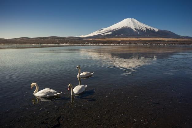 Mount fuji with three white swans