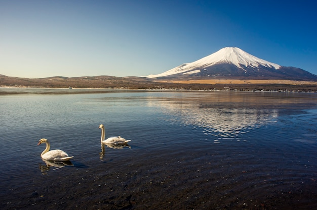 Mount fuji with two white swans