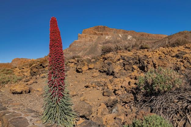 테이 데 산 버실 로스 (echium wildpretii), 화산 바위 풍경과 푸른 하늘 피는