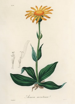 Mountain arnica (arnica montana) illustration from medical botany (1836)