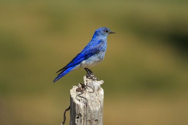 Mountain bluebird perching on fencepost