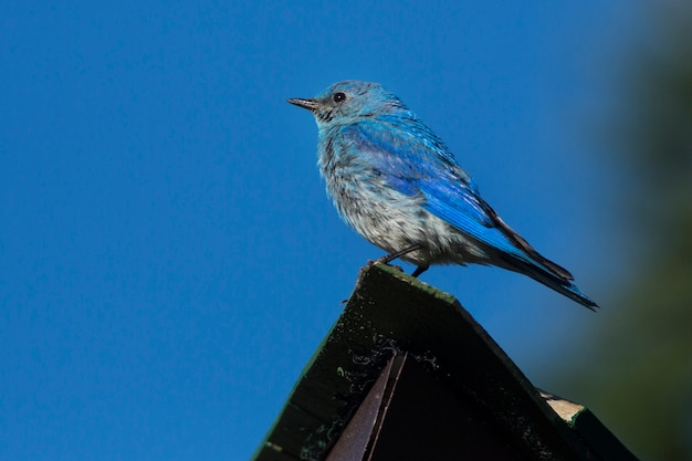Mountain bluebird perching on roof