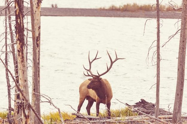秋の森、コロラド州、米国のマウンテンブルエルク