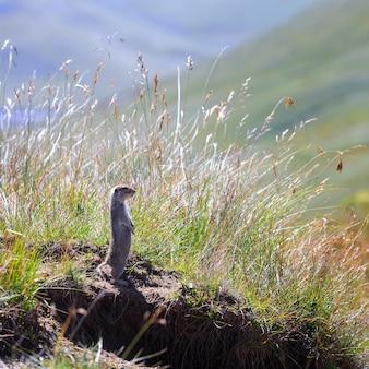 러시아 북 코카서스의 잔디에 산 백인 고퍼 (spermophilus musicus)