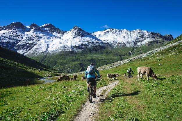 Горный велосипедист проходит мимо стада коров