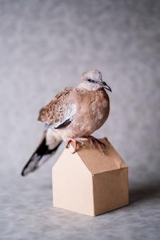Mountain dove on grey background studio set photo shoot
