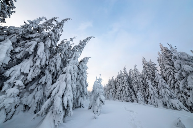 Mountain forest with tall dark green spruce trees and path in snow