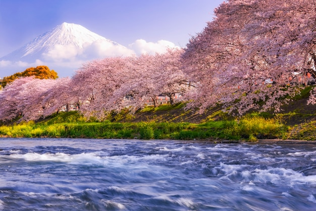 Mountain fuji in spring season, japan. cherry blossom sakura.
