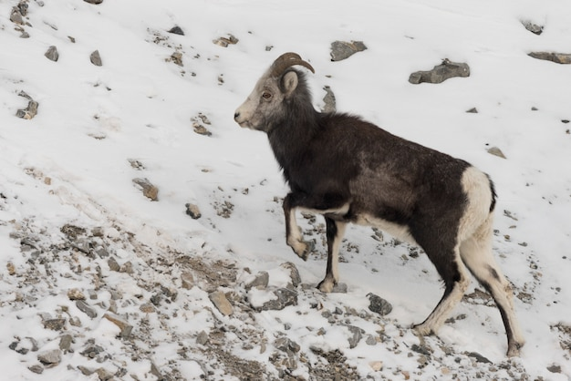 Mountain goat climbing on snow covered hill, alaska highway, northern rockies regional municipality,