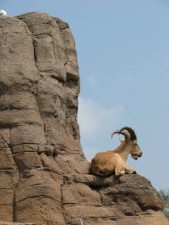 Mountain goat, hooves