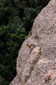 몬세라트 산, 바르셀로나, 스페인에 있는 산 염소.