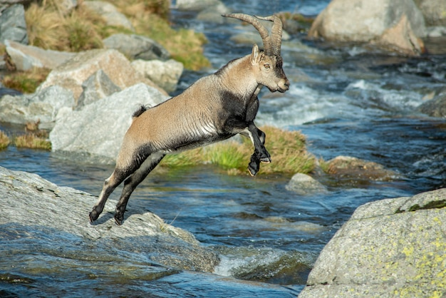 Mountain goat jumping a stream in the mountain