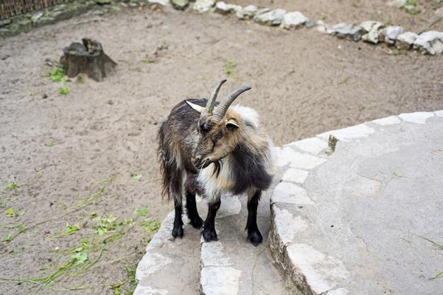 Горный козел на камнях.