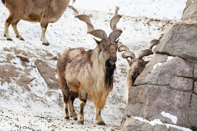 山羊は岩の上に立って、岩山の背景で遠くを見ています。大きくて長く美しい角。