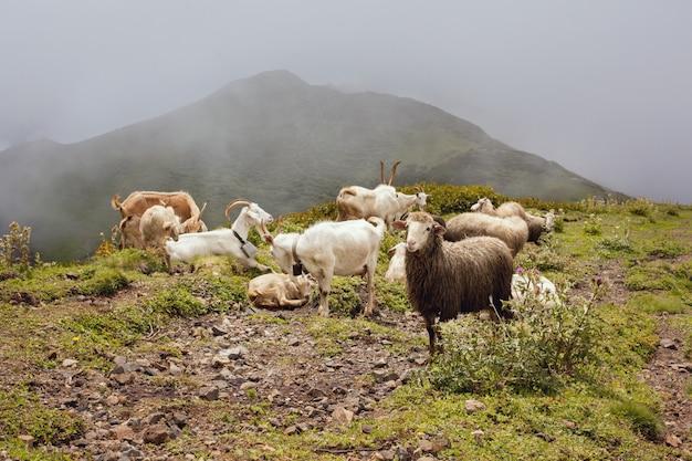 Горные козлы и казель пасутся на пастбище в горах