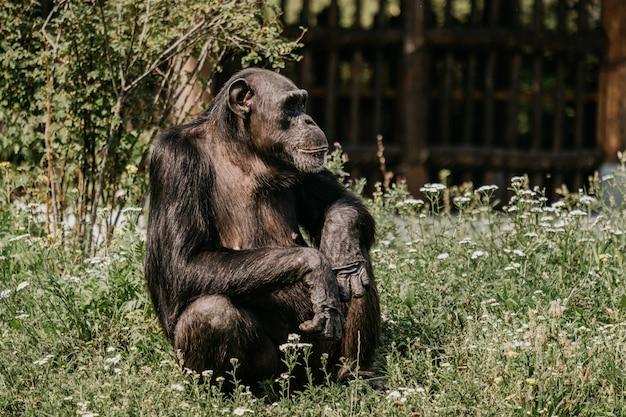 Горная горилла. лесной национальный парк в уганде