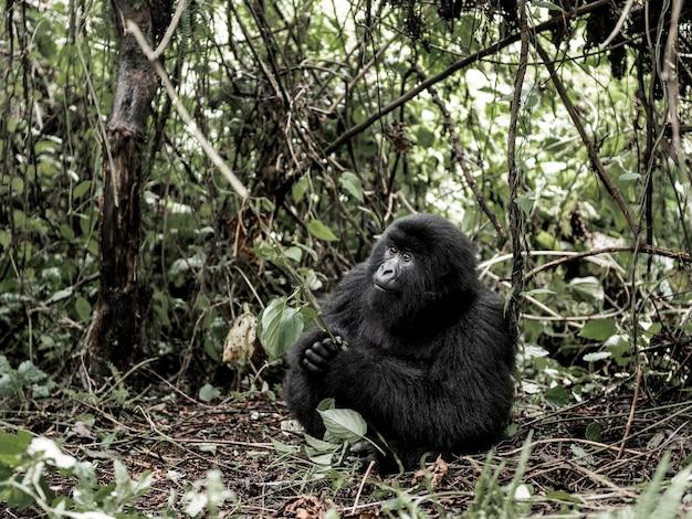 マウンテンゴリラ、ヴィルンガ国立公園、コンゴ民主共和国、アフリカ
