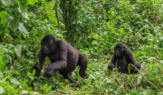 Горные гориллы в тропическом лесу. уганда. национальный парк непроходимый лес бвинди.