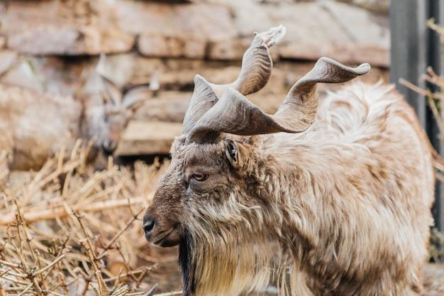 Горный рогатый козел в зоопарке