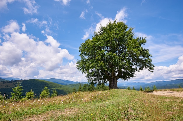 Mountain landscape with lonely beech tree in the foreground. sunny day. carpathians, ukraine