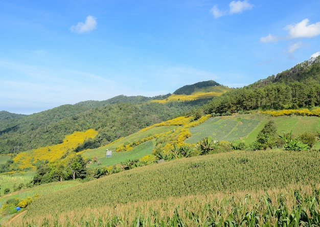 Mountain landscape with terrace corn field in meahongson, thailand