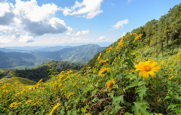 Mountain landscape with wild mexican sunflower blooming moutain in meahongson, thailand